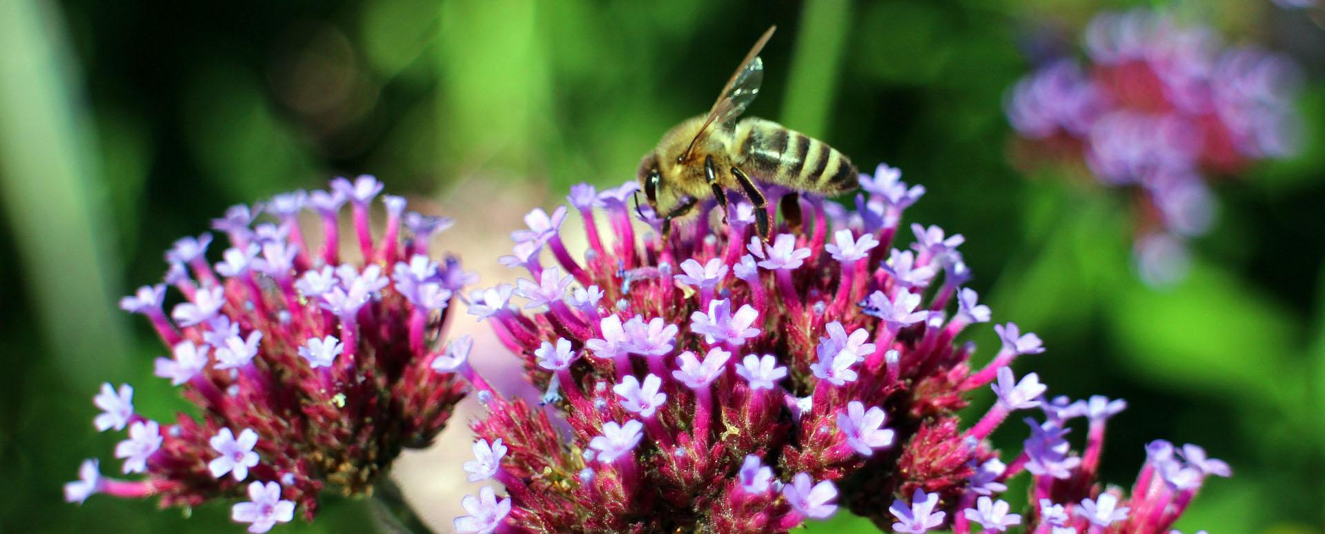Planten Voor Bijen.Topplanten Voor Bijen