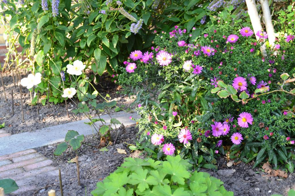Herfstaster volop in bloei