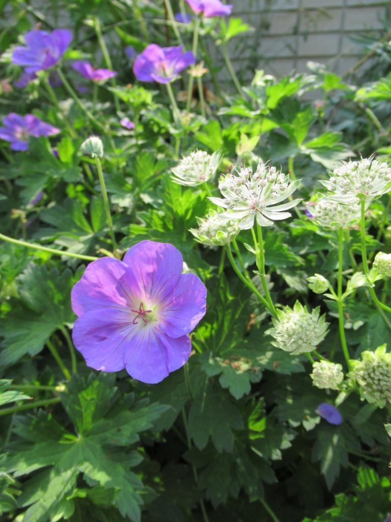 Geranium rozanne en Astrantia 'Shaggy'