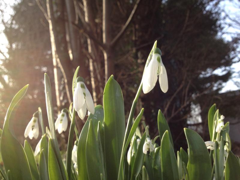 Galanthus nivalis ochtendzon