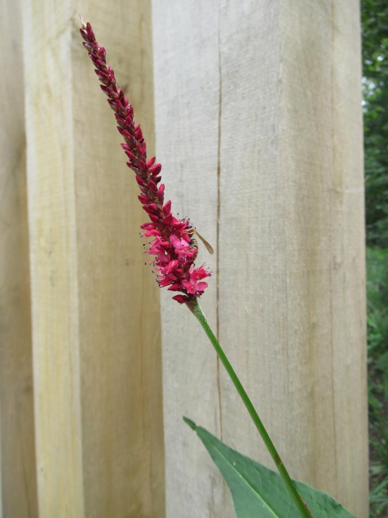 Persicaria ampl. 'Blackfield'