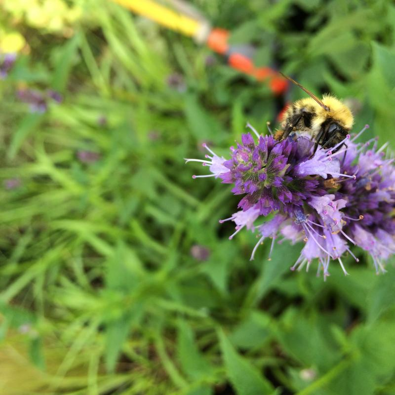 Agastache Blackadder bijenlokker