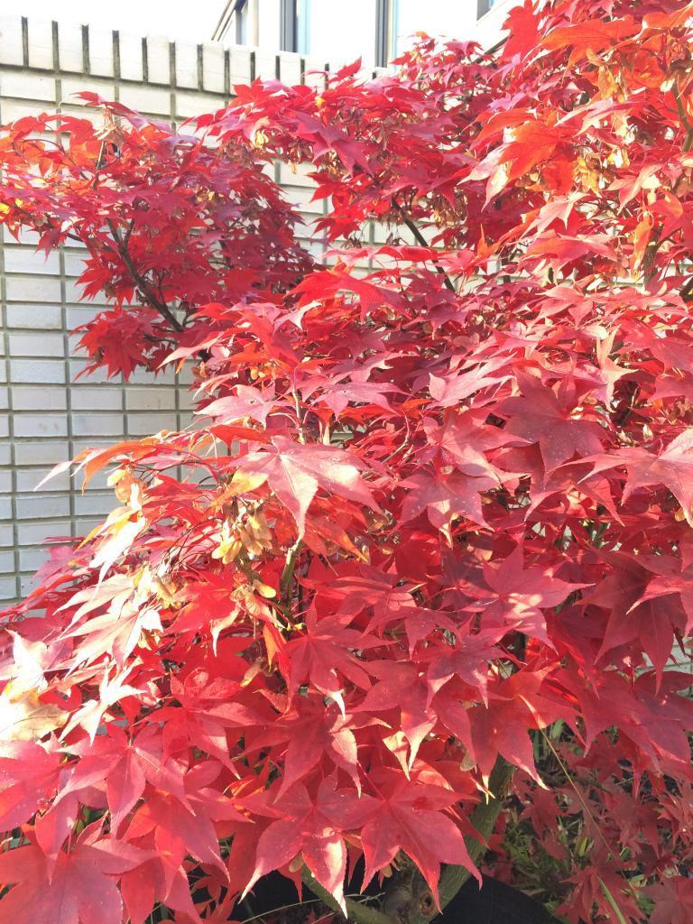 Japanse esdoorn in herfstkleur