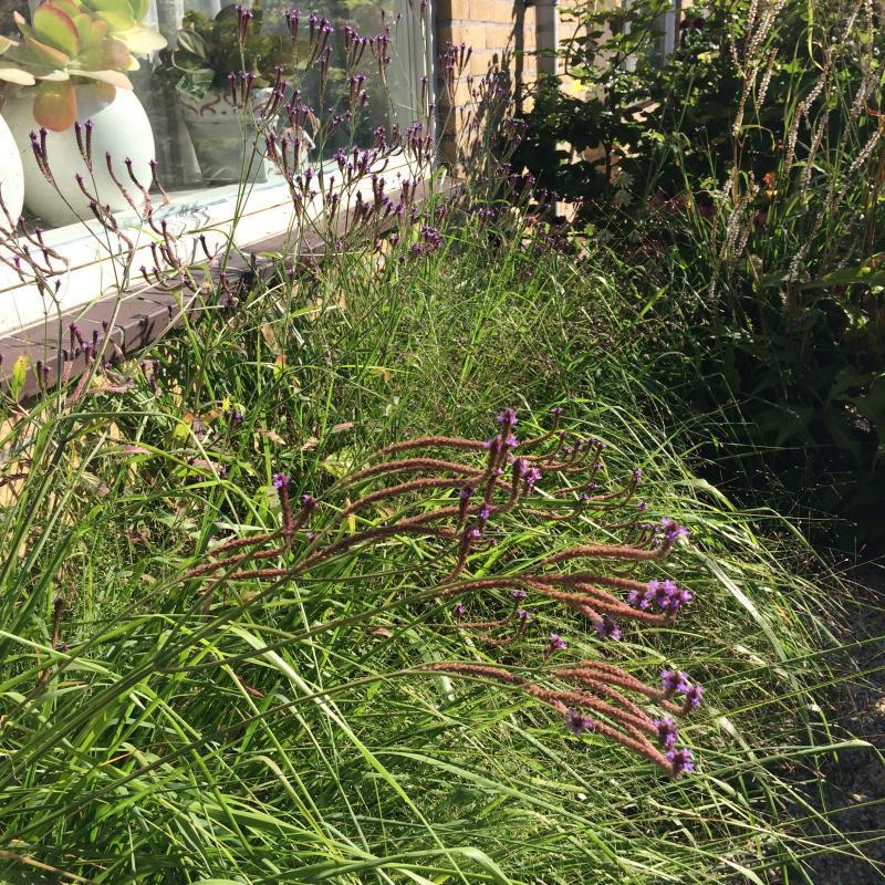 Verbena hastata 'Lavender Spires'