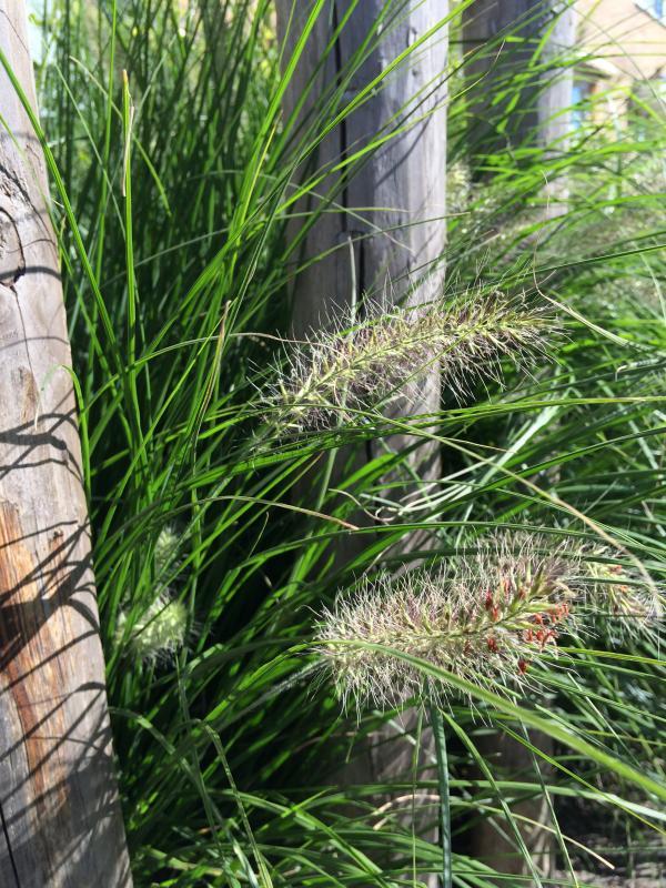 Pennisetum 'Hameln' met palen van kastanjehout