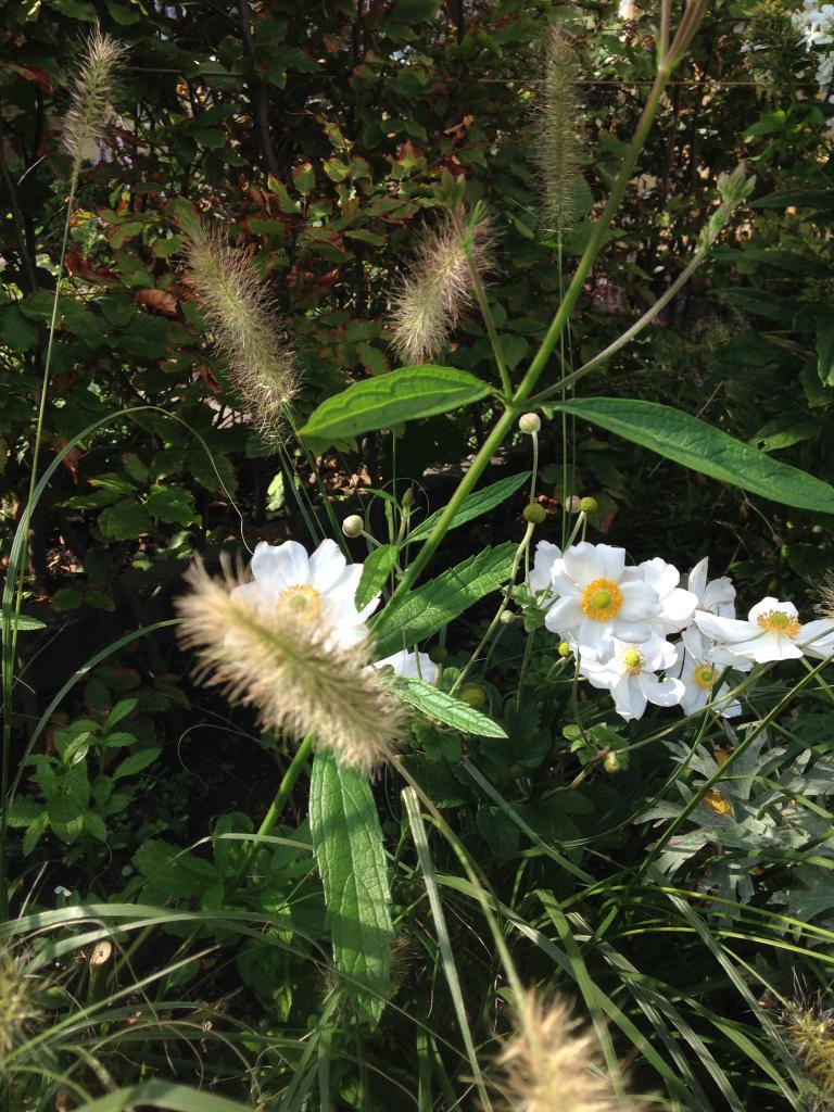 Pennisetum 'Hameln' met Herfstanemonen