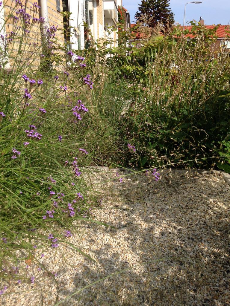De fragiele bloei van Eragrostis trichoides samen met Verbena hastata 'Lavender Spires'