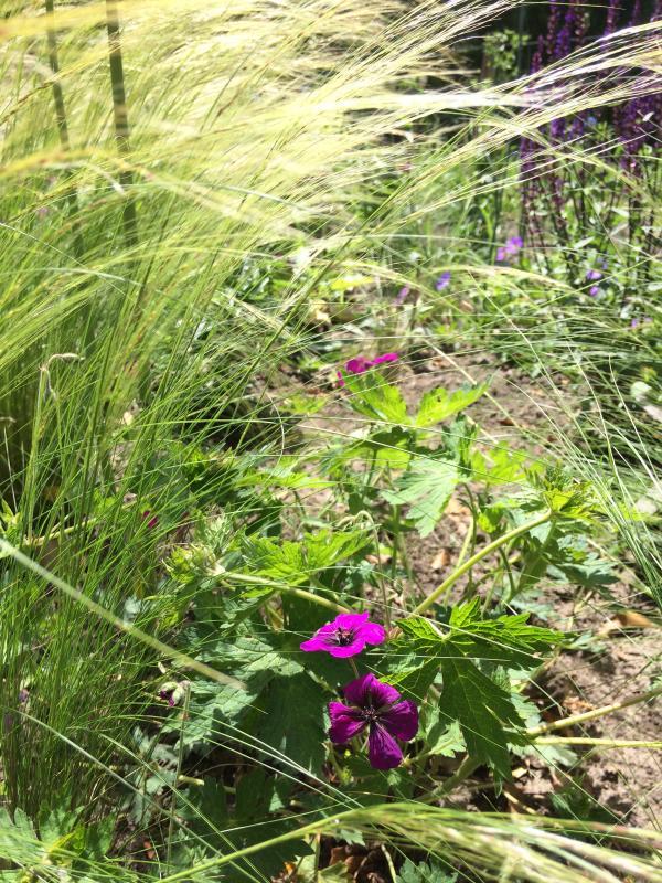Weefplanten tussen de siergrassen