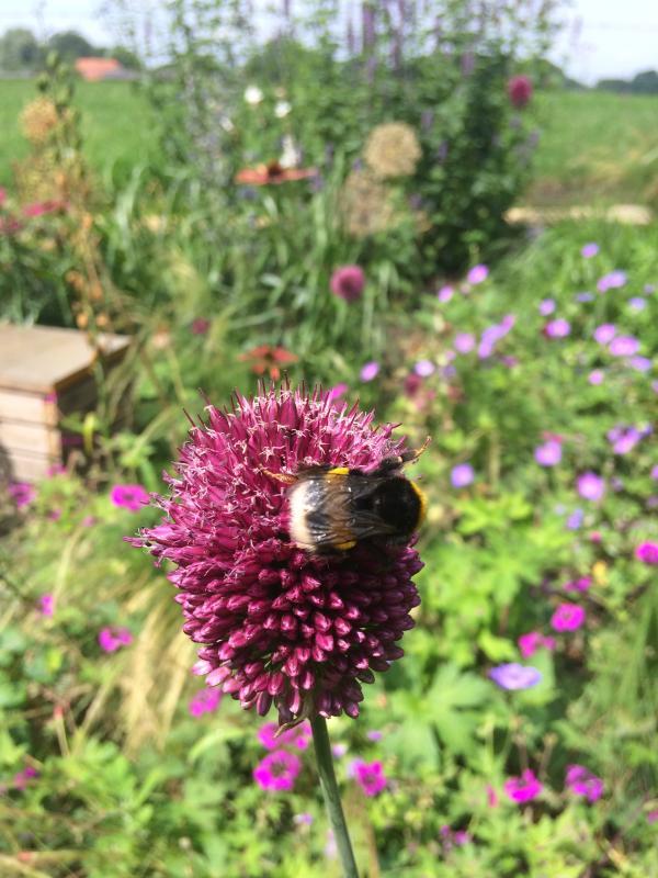 De trommelstokjes zijn onweerstaanbaar, ook voor bijen, hommels en vlinders