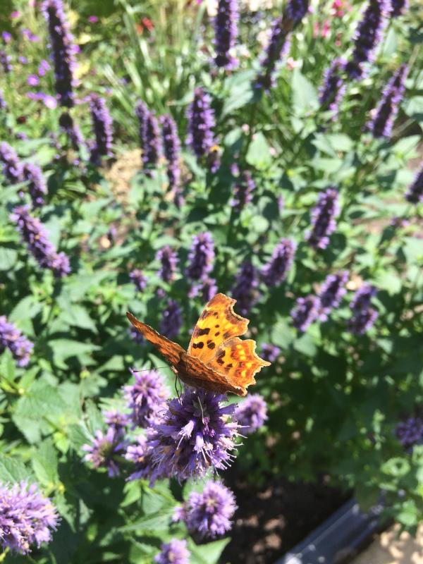 De dropplant trekt volop vlinders