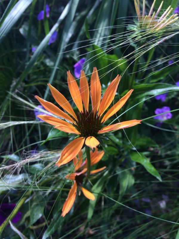 Echinacea purpurea 'Maya Raya' ontluikt