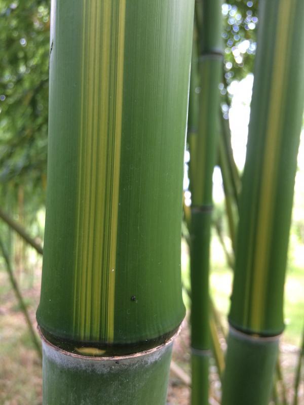 Bamboe bij kwekerij Bandus